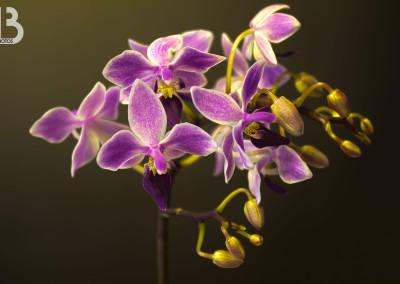 Mini orchidée violette