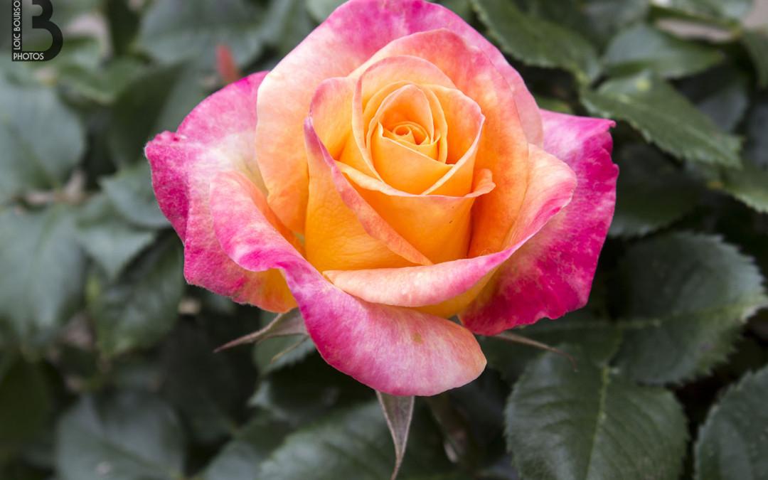 Rose de la fête des fleurs